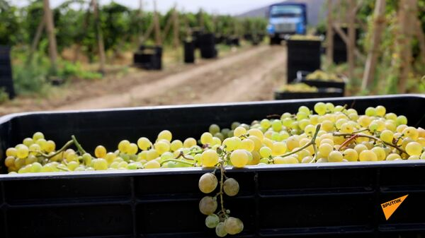 Российские миротворцы обеспечили безопасный сбор винограда для детей школы-интернат в Карабахе - Sputnik Արմենիա