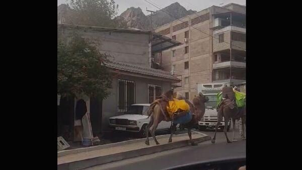 Верблюды в Мегри - Sputnik Արմենիա