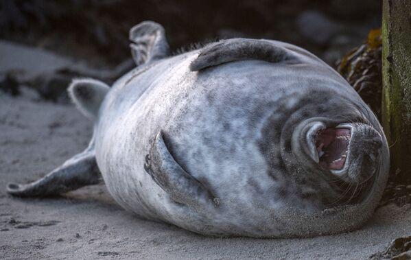 Молодой серый тюлень катается на спине на пляже на острове Гельголанд в Северном море, Германия, 4 января 2020 г. Сотни серых тюленей используют остров для рождения своих детенышей, обычно в период с ноября по январь. После 3 недель кормления детенышей оставляют на произвол судьбы. За период с 13 ноября по 26 декабря 2019 г. зарегистрировано рождение 524 серых тюленей. - Sputnik Армения