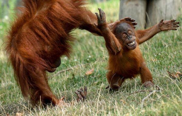Маленький орангутанг с Суматры играет со своей матерью в вольере в зоопарке Pairi Daiza в Брюгелетте, западная Бельгия, 15 августа 2019 года. - Sputnik Армения