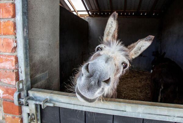 Осел-спасатель выглядывает из конюшен Донеголского заповедника ослов в Кастледуи-Ко-Донегол, Ирландия. - Sputnik Армения