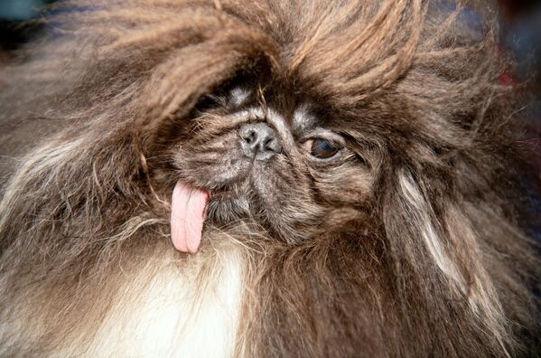 Вайлд Тханг, трехлетний пекинес, перед началом соревнований самых уродливых собак в мире в Петалуме, штат Калифорния, 21 июня 2019 года. - Sputnik Армения