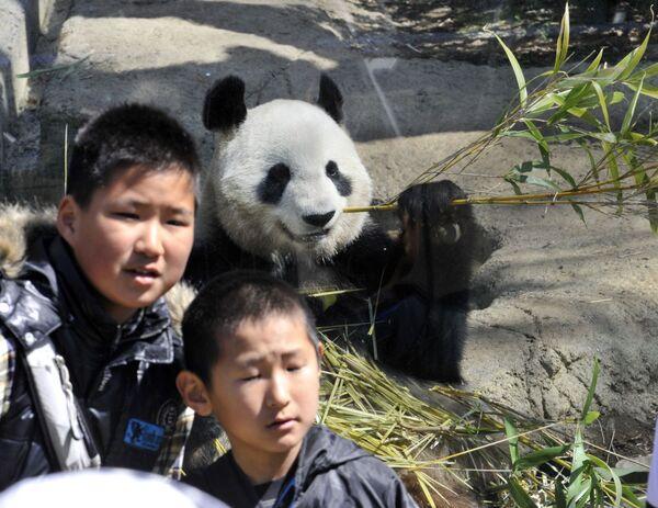 Японские мальчики позируют вместе с Шин Син, гигантской пандой-самкой, поедающей бамбук в зоопарке Уэно в Токио, 1 апреля 2011 года. Пара панд, взятых напрокат из Китая, прибыла в зоопарк Уэно 21 февраля. - Sputnik Армения