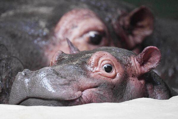 Детеныш бегемота по кличке Хеллоуин отдыхает рядом со своей мамой Кэти 6 декабря 2019 года в зоопарке Карлсруэ на юге Германии. Хеллоуин родился в зоопарке 31 октября 2019 года - отсюда и его имя. - Sputnik Армения