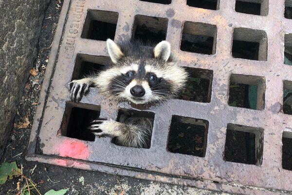 Молодой енот застрял в пожарной решетке в Ньютоне, штат Массачусетс, 1 августа 2019 года. Пожарной службе удалось спасти енота и освободить его от решетки - Sputnik Армения