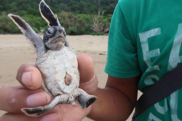 Смотритель заповедника держит в руках детеныша морской черепахи после того, как его выпустили на пляж в Сукамаде, Национальный парк Меру Бетири на Восточной Яве.  Шесть из семи видов черепах в мире обитают в Индонезии, на архипелаге из более чем 17 000 островов, где обитает головокружительное множество экзотических животных. - Sputnik Армения