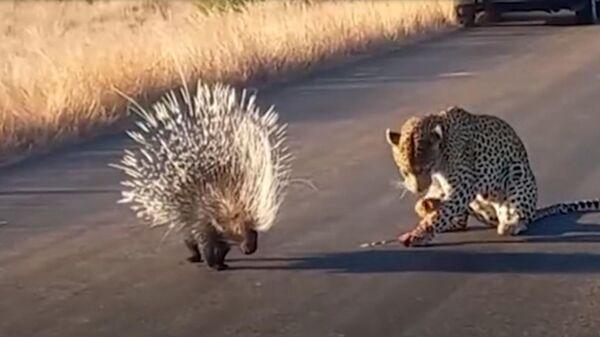Леопард и дикобраз - Sputnik Армения