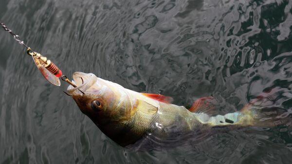 Окунь, пойманный рыбаком - Sputnik Армения