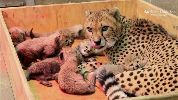 Восемь детенышей родились у самки гепарда в зоопарке Сент-Луиса - Sputnik Արմենիա