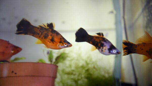 Рыбки Ваана Акопяна - Sputnik Армения