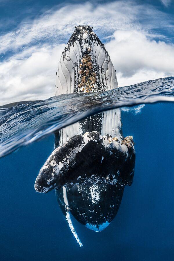 2018 Underwater Photographer of the Year ստորջրյա լուսանկարների մրցույթի Wide Angle անվանակարգում առաջին տեղը զբաղեցրած ֆրանսիացի լուսանկարիչ Greg Lecoeur–ի «Humpback whale spy hopping» լուսանկարը։ - Sputnik Արմենիա