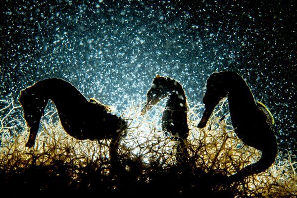 Macro անվանակարգում առաջին տեղը զբաղեցրած կանադացի լուսանկարիչ Shane Gross–ի «Seahorse Density» լուսանկարը։ - Sputnik Արմենիա
