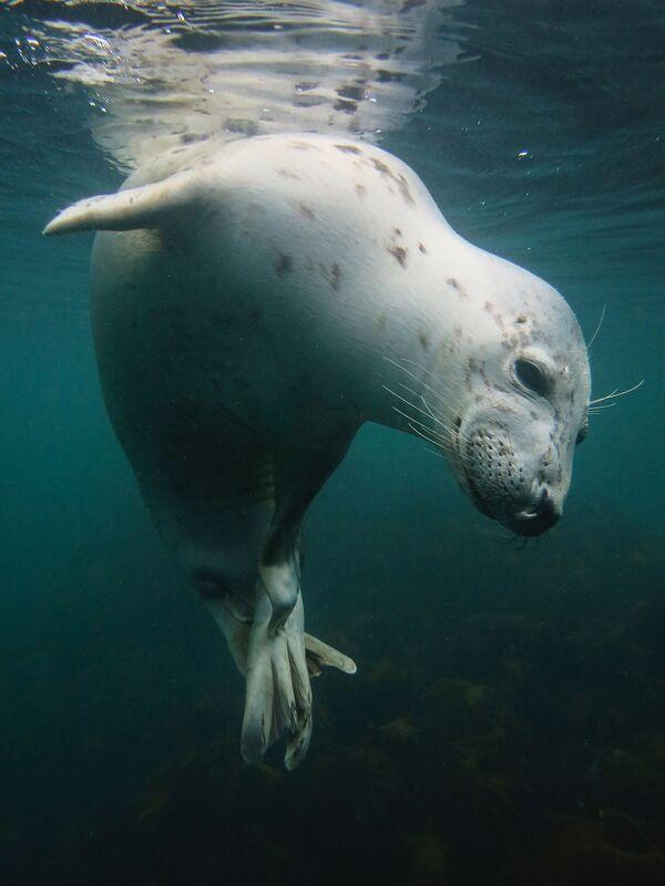 2018 Underwater Photographer of the Year ստորջրյա լուսանկարների մրցույթի British Waters Compact անվանակարգում առաջին տեղը զբաղեցրած բրիտանացի լուսանկարիչ Vicky Paynter–ի «Scratchy Seal» լուսանկարը։ - Sputnik Արմենիա
