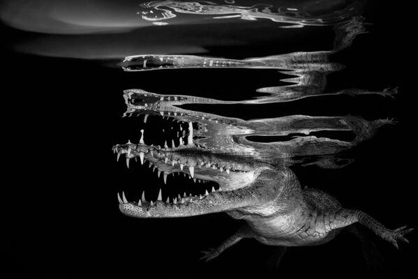2018 Underwater Photographer of the Year ստորջրյա լուսանկարների մրցույթի Black & White անվանակարգում առաջին տեղը զբաղեցրած լուսանկարիչ սլովենացի Borut Furlan–ի «Crocodile reflections»–ն լուսանկարը։ - Sputnik Արմենիա