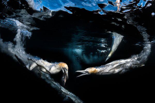 Behaviour  անվանակարգում երրորդ տեղը զբաղեցրած ֆրանսիացի լուսանկարիչ Greg Lecoeur–ի «Gannets feeding»  լուսանկարը։ - Sputnik Արմենիա