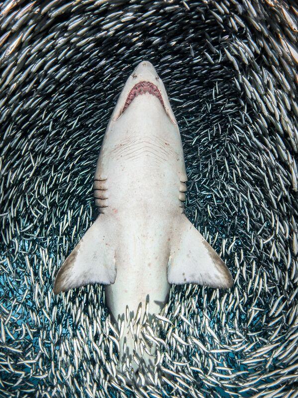 Portrait անվանակարգում հաղթած ամերիկացի լուսանկարիչ Tanya Houppermans–ի «A sand tiger shark surrounded by tiny bait fish» լուսանկարը։ - Sputnik Արմենիա