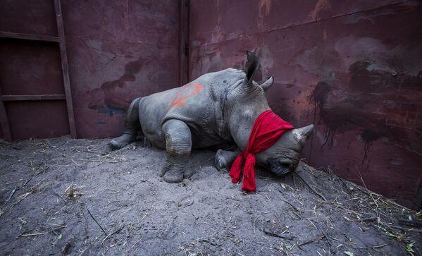 ՀԱրավաֆրիկացի լուսանկարիչ Նեյլ Ալդրիջի լուսանկարը The Return of the Rhino ֆոտոշարքից (Professional) - Sputnik Արմենիա