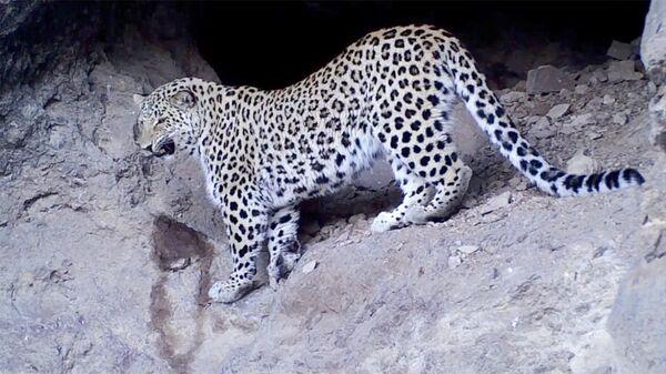 Кавказский леопард впервые попал в объектив камер-ловушек в Хосровском заповеднике - Sputnik Армения