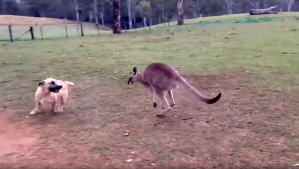 Овчарка превратилась в кенгуру и играет с новым другом - Sputnik Արմենիա