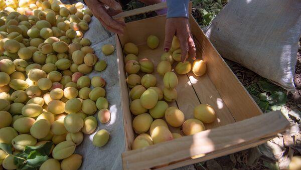 Сбор абрикосов в селе Айгезард, Араратская область - Sputnik Армения