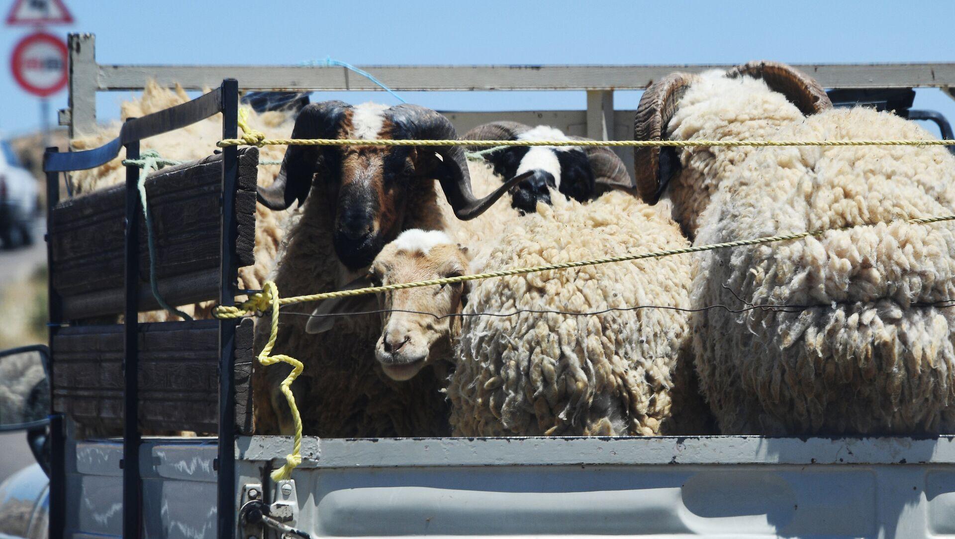 Бараны и овцы в кузове грузовика - Sputnik Արմենիա, 1920, 09.09.2021