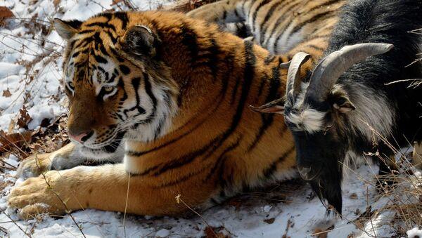 В Приморском Сафари-парке амурский тигр подружился с козлом - Sputnik Армения