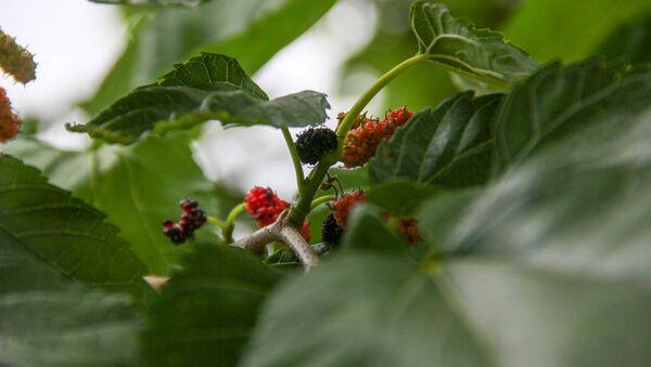 Шелковица черная - Sputnik Армения