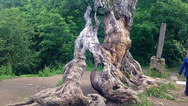 Старинный дуб перед монастырем Ахарцин - Sputnik Արմենիա