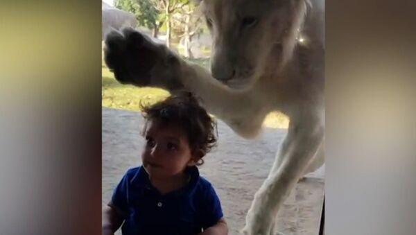 Лев пытался добраться до мальчика через стекло в зоопарке - Sputnik Армения
