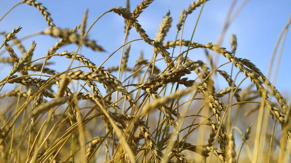 Колосья пшеницы - Sputnik Армения