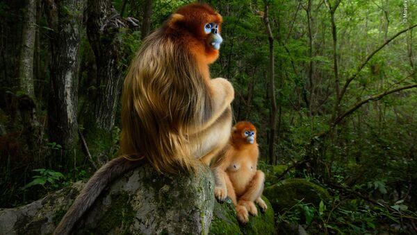 Снимок The golden couple голландского фотографа Marsel van Oosten, победивший в фотоконкурсе 2018 Wildlife Photographer of the Year - Sputnik Արմենիա