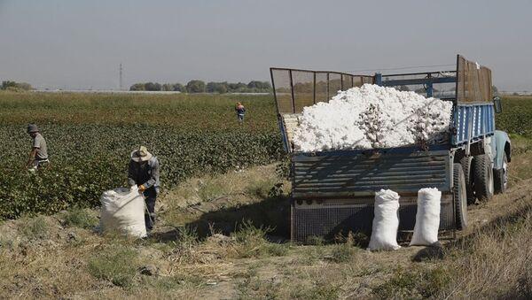 В Армении собирают урожай хлопка: таджикские специалисты помогают армянскому бизнесмену. - Sputnik Армения