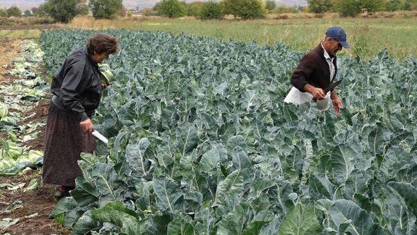 Сбор урожая в Армавирской области - Sputnik Армения