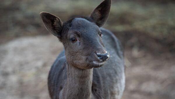 Европейский олень в еревaнском зоопарке - Sputnik Արմենիա