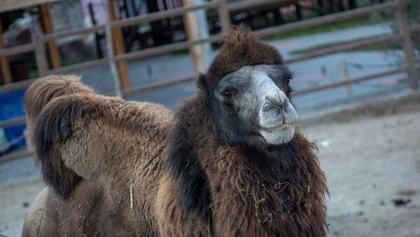 Верблюд в еревaнском зоопарке - Sputnik Արմենիա