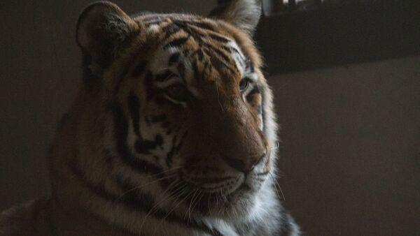 Амурский тигр в еревaнском зоопарке - Sputnik Армения