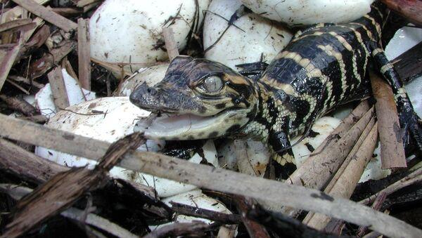 Нововылупленный крокодил - Sputnik Армения