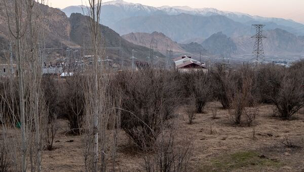 Дикорастущие фисташковые деревья в Агараке - Sputnik Армения
