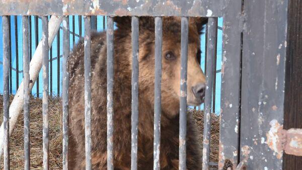 Медведи Гюмрийского зоопарка реабилитируются в Ереване RUS - Sputnik Армения