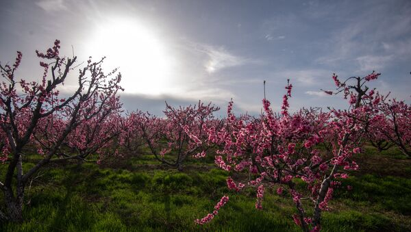 Цветущие персиковые деревья - Sputnik Արմենիա