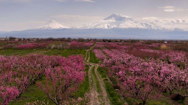 Цветущие персиковые деревья - Sputnik Армения