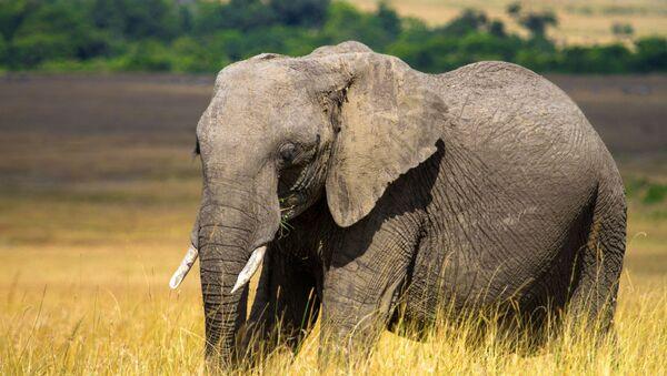 Слон в национальном заповеднике Масаи-Мара в Кении.    - Sputnik Армения
