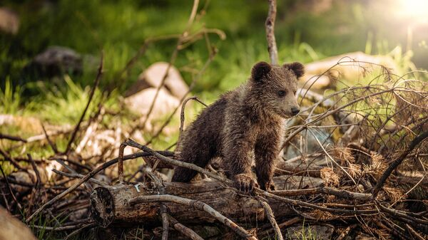 Медвежонок в лесу - Sputnik Արմենիա