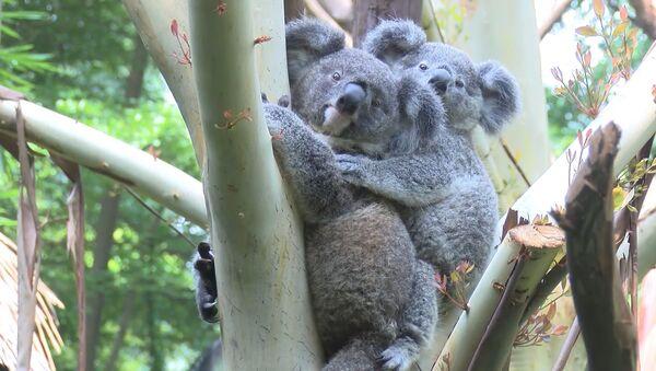 Малыш коалы вылез из маминой сумки через восемь месяцев после рождения - Sputnik Армения