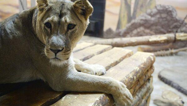 Африканская львица. Архивное фото - Sputnik Армения