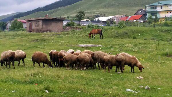 Овцы в деревне Фиолетово - Sputnik Արմենիա
