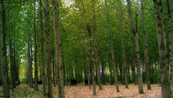Лавровые деревья. Ноемберянский регион,  Армения. - Sputnik Армения
