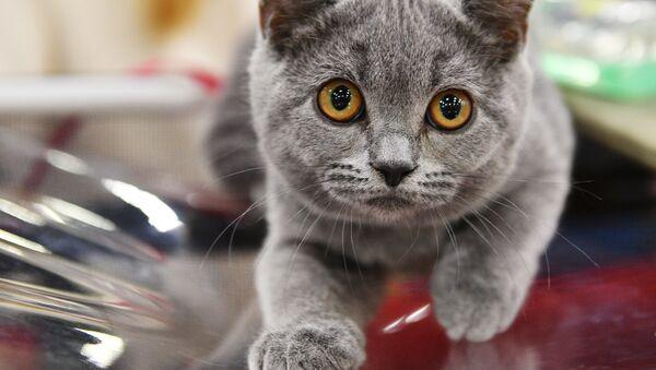 Выставка кошек Кэт-Салон-Февраль в Москве - Sputnik Армения