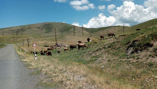 Коровы на пастбище - Sputnik Արմենիա