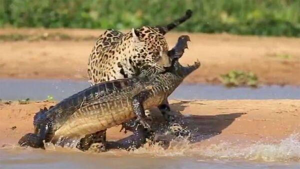Ягуар атаковал крокодила - Sputnik Армения